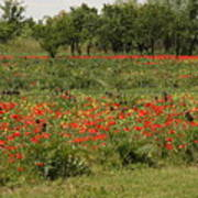 Field Of Poppies On Torcello In Venice Poster