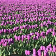 Field Of Purple Flowers Poster