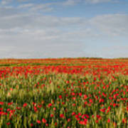 Field Of Red Poppy Anemones Late In Spring  Poster