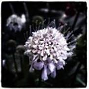 Field Scabious. A Member Of The Poster
