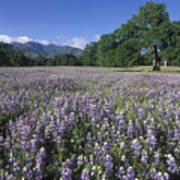 Fields Of Lupine And Owl Clover Poster