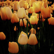 Fields Of Yellow Tulips Poster