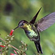 Fiery-throated Hummingbird Panterpe Poster