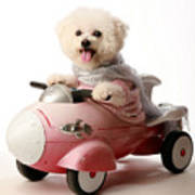 Fifi The Bichon Frise And Her Rocket Car Poster