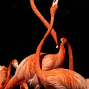 Fighting Flamingos Poster