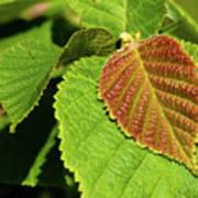Filbert Leaf Poster