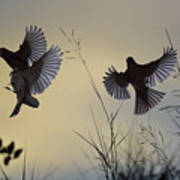 Finches Silhouette With Leaves 6 Poster