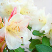 Fine Art Florals Prints White Pink Rhodies Rhododendrons Baslee Troutman Poster