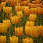 Fine Lines In Yellow Tulips Poster