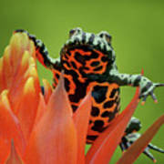 Fire-bellied Toad Poster