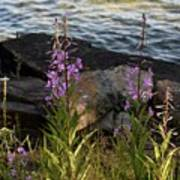 Fire Weed Looking At Lake Superior Poster