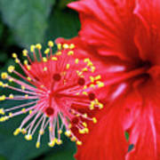 Fireworks - Hibiscus Poster