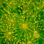 Fireworks Of Dill Flowers Poster