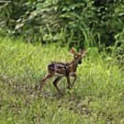 First Baby Fawn Of The Year Poster