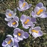 First Crocuses Of Spring 2015 Poster