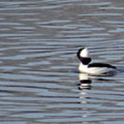 First Day Of Spring Bufflehead2 Poster