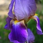 First Iris Poster