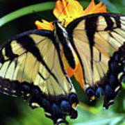 Fish Eye Butterfly Poster