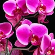 Five Orchids  Poster
