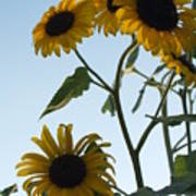 Five Sunflowers To The Sky Poster