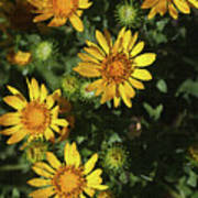 Five Yellow Flowers  Poster