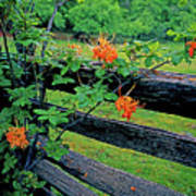 Flame Azalea And Fence Poster