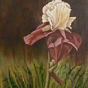 Flaming Bearded Iris Poster