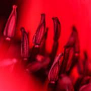 Flaming Poppy Detail Poster