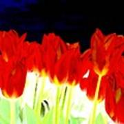 Flaming Red Tulips Poster