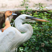 Flamingo Gardens - Great Egret Profile Poster