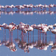 Flamingo Reflection - Lake Nakuru Poster