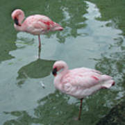 Flamingoes Posing Poster