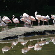 Flamingos With Reflection Poster