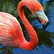 Flamingo Wading In Pond Poster