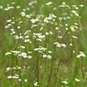 Fleabane In The Meadow Poster