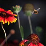 Flight Of A Honey Bee Poster