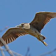 Flight Of The Night Heron Poster