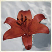 Floating Lily Poster