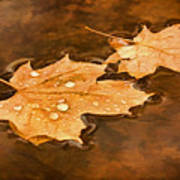 Floating Maple Leaves Pnt Poster