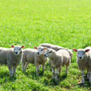 Flock Of Sheep Standing In A Field Waiting Poster