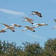 Flock Of White Ibises Poster