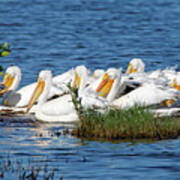 Flock Of White Pelicans Poster