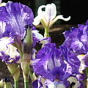 Flora Bota Irises Purple White Iris Flowers 29 Iris Art Prints Baslee Troutman Poster