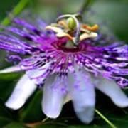 Flora Passiflora Poster