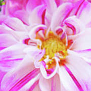 Floral Art Prints Big Pink White Dahlia Flower Baslee Troutman Poster
