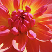 Floral Art Prints Orange Pink Dahlia Flower Baslee Troutman Poster