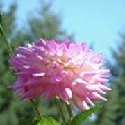 Floral Art Prints Pink White Dahlia Flower Pastel Baslee Troutman Poster