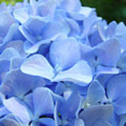 Floral Artwork Blue Hydrangea Flowers Baslee Troutman Poster