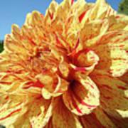 Floral Dahlia Flower Art Print Orange Red Dahlias Baslee Poster