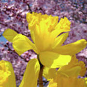 Floral Fine Art Daffodils Art Prints Spring Flowers Sunlit Baslee Troutman Poster